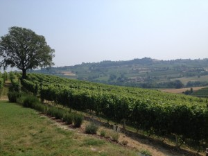 Part of the Stella vineyards